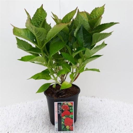Hydrangea macrophylla 'Glowing Alps' (About Plants Zundert BV)