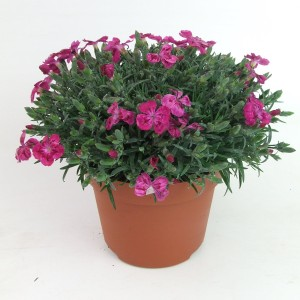 Dianthus PILLOW PURPLE (Kwekerij Scholte)