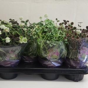 Trifolium repens MIX