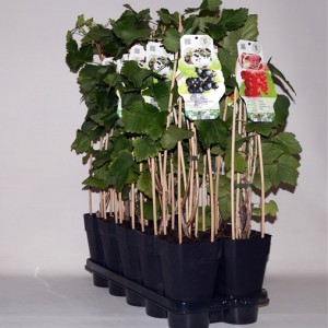 Ribes MIX (BOGREEN Outdoor Plants)