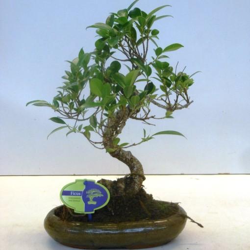 Ficus microcarpa (Lodder Bonsai BV)