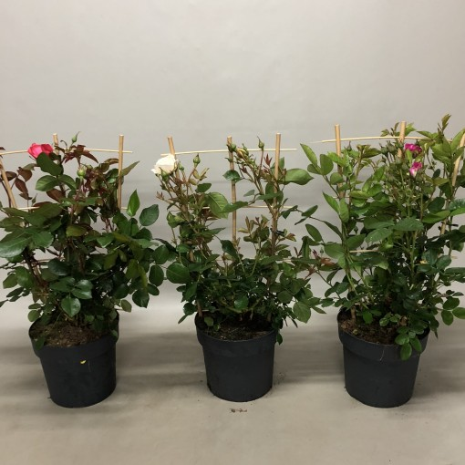 Rosa COURTYARD COLLECTION MIX (Nolina Kwekerijen B.V.)