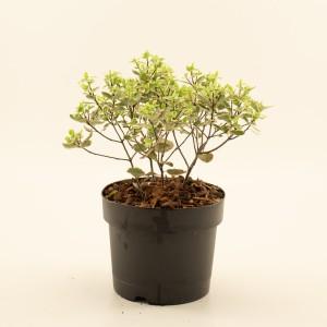 Pittosporum tenuifolium 'Elizabeth'