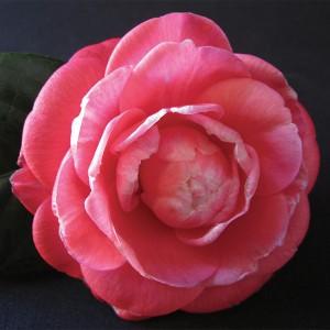 Camellia japonica 'Galileo' (Flora Toscana)