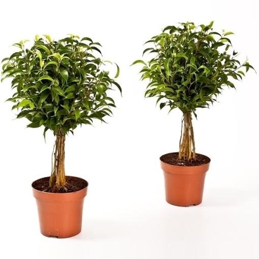 Ficus benjamina 'Babilatos' (Bunnik Plants)