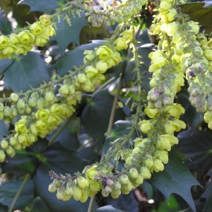 Mahonia japonica 'Hivernant' (About Plants Zundert BV)
