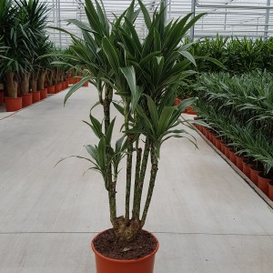 Dracaena fragrans 'Warneckei'