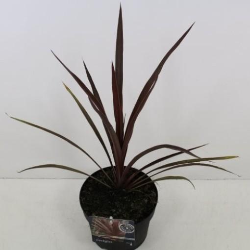 Cordyline australis 'Red Star' (Noordpoel, Kwekerij de)