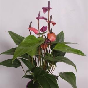 Anthurium FIORINO (Postplants)
