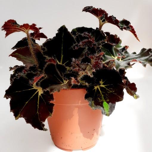 Begonia 'Evy' (van der Velden, Hkw. )
