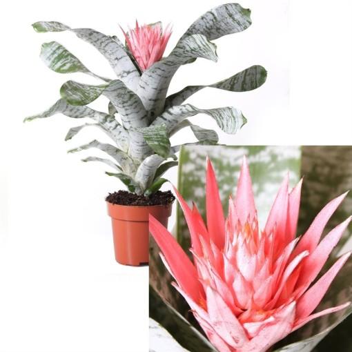 Aechmea fasciata 'Griffe' (Bromelia Specialist)