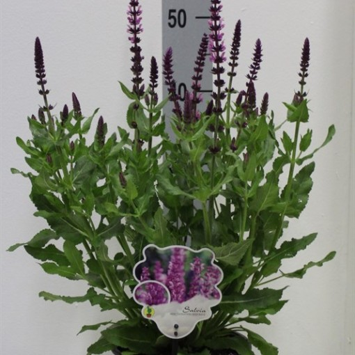 Salvia nemorosa SENSATION DEEP ROSE (Van Tol & Van der Linde)