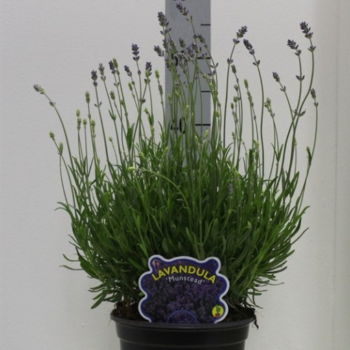 Lavandula angustifolia 'Munstead' (Van Tol & Van der Linde)