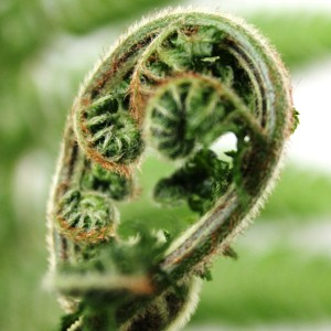 Dicksonia antarctica (Ruhé Varens B.V.)