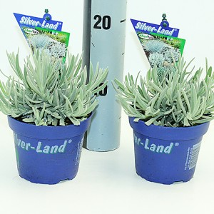 Lavandula 'Silver Frost' (Experts in Green)