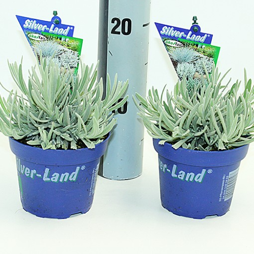 Lavandula 'Silver Frost' (Experts in Green)