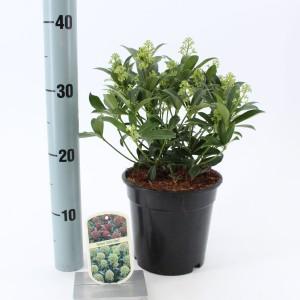 Skimmia japonica 'Godrie's Dwarf'