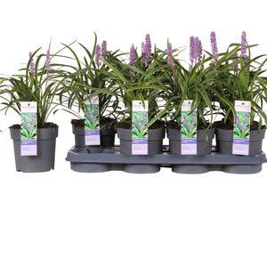 Liriope muscari 'Variegata' (Hoogeveen Plants)