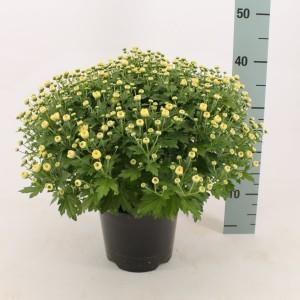 Chrysanthemum 'Jasoda White' (Bas van der Wilt)