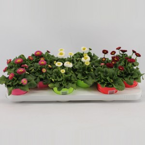Bellis MIX (Kwekerij Jan van der Knaap)
