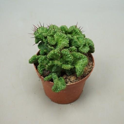 Euphorbia Decaryi In 10.5cm Pot