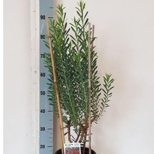 Leucadendron 'Candy Delight' (Flora Toscana)