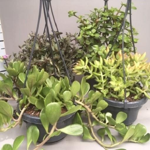 Succulents MIX (van der Hoorn Succulenten)