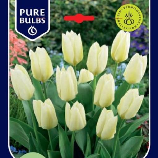 Tulipa 'Purissima' (Bosrand, Kwekerij de)