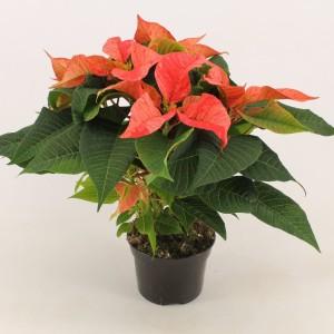 Euphorbia pulcherrima CHRISTMAS FEELINGS FANTASY