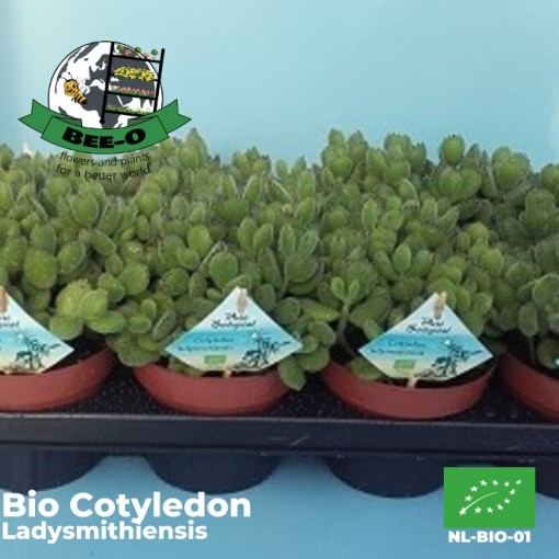 Cotyledon ladysmithiensis (Bee-O)