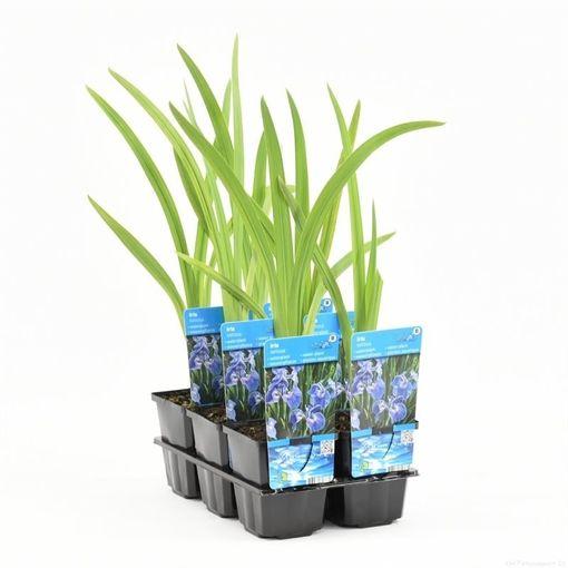 Iris setosa (Moerings Waterplanten)