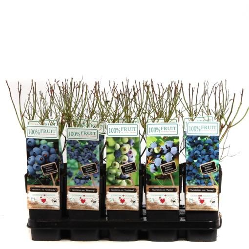 Vaccinium corymbosum MIX (Hoogeveen Plants)