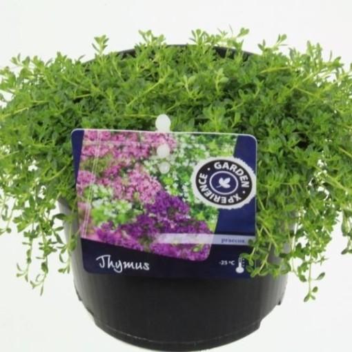 Thymus praecox 'Albiflorus' (Noordpoel, Kwekerij de)