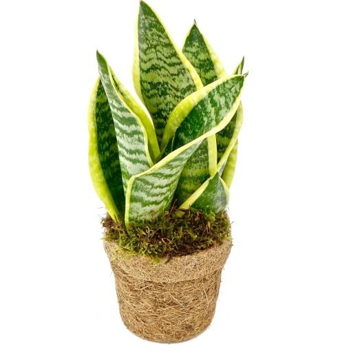 Sansevieria trifasciata 'Yellow Stripe' (Kokodama)
