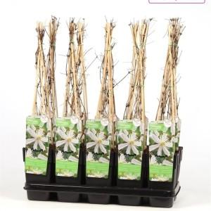 Clematis 'Paul Farges' (Hoogeveen Plants)