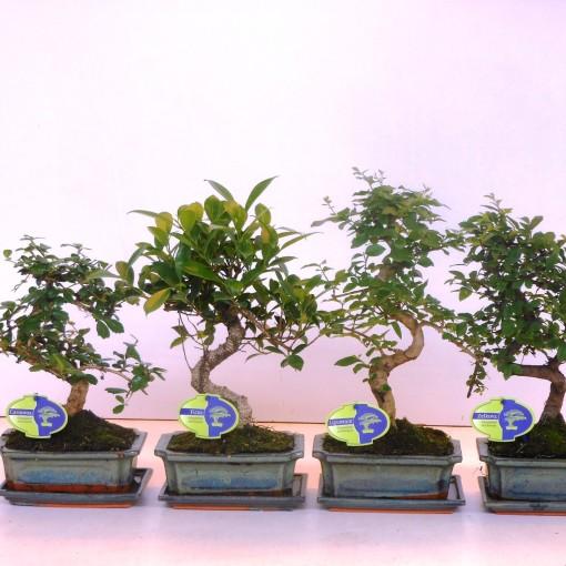 Bonsai MIX (Lodder Bonsai BV)