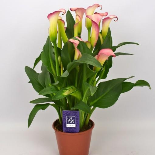 Zantedeschia 'French Kiss' (BB Plant)