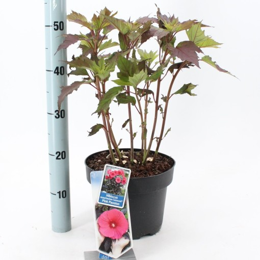 Hibiscus moscheutos CAROUSEL PINK PASSION (About Plants Zundert BV)