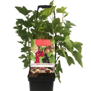 Ribes MIX IN POT (Fruithof)