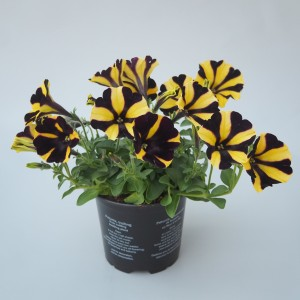 Petunia SUNFLOWER RAY (Sonneveld Plants)