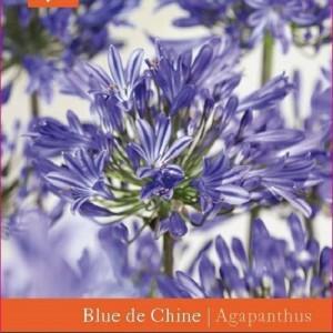 Agapanthus 'Blue de Chine' (Snepvangers Tuinplanten BV)