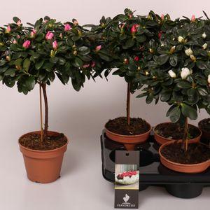 Rhododendron AZALEA MIX
