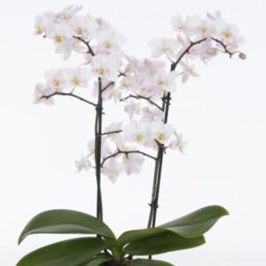 Phalaenopsis 'Pisco'