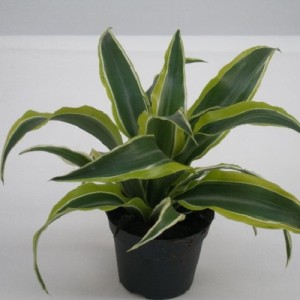Dracaena fragrans 'Surprise'