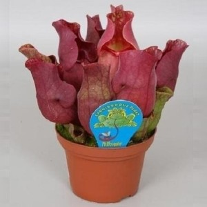 Sarracenia purpurea venosa 'Red'