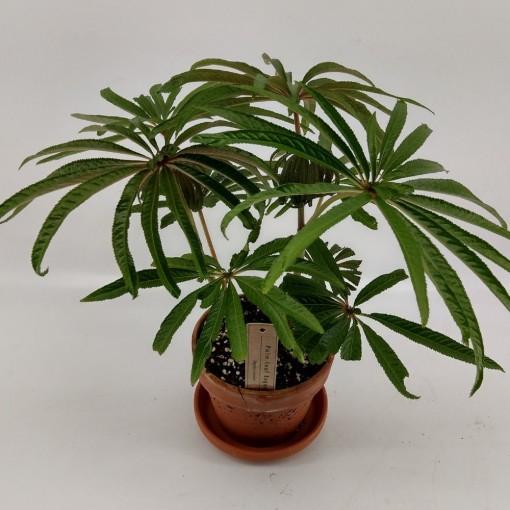 Begonia luxurians (Hofstede Hovaria)