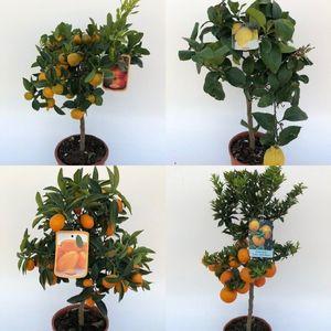 FA Citrus SELECTION #133