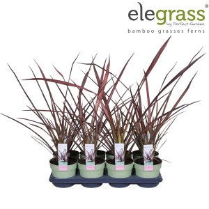 Phormium 'Evening Glow' (Hoogeveen Plants)