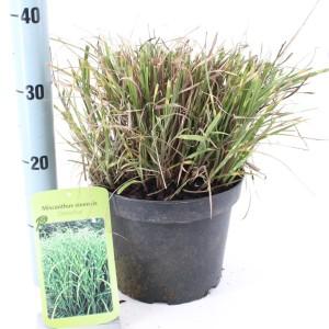 Miscanthus sinensis 'Zebrinus' (About Plants Zundert BV)