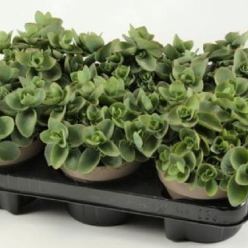 Sedum ewersii (Experts in Green)